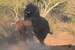 Elephant mounting. A female elephant being mounted by a male knocking up dust cloud Stock Photo
