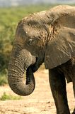 Elephant mud bath. A young female stands and dries after having her mud bath, in the Addo Elephant Park, Port Elizabeth, South Africa stock photo