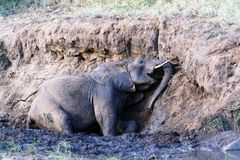 Elephant Mud Bath Stock Images