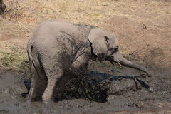Elephant mud bath. An African elephant youngster taking a mud bath in botswana Stock Image