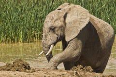 Elephant mud Bath Stock Images