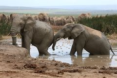 Free Elephant Mud Bath Stock Image - 37122821