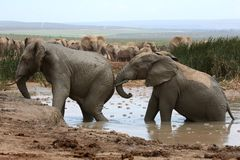 Elephant Mud Bath Stock Photos