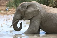 Elephant Mud Bath Stock Photo