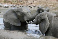 Elephant Mud Bath Royalty Free Stock Image