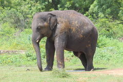 Elephant mud bath Stock Image