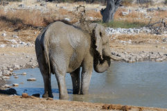 Elephant mud bath, Etosha National park, Namibia Royalty Free Stock Photography