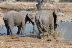 Elephant mud bath, Etosha National park, Namibia Stock Photos