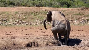 Elephant Mud Bath stock video footage