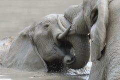 Elephant Mud Fight Stock Images