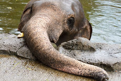 Elephant in mud hole Stock Photo