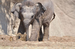 Elephant mud play Stock Photography