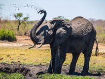 Elephant mud splash Stock Photography