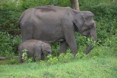Elephant at mudhumalai wildlife santuary. With child royalty free stock image