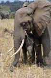 Elephant mum protecting her baby Stock Image