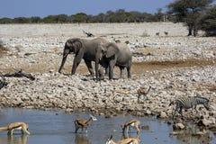 Elephant in Namibia Royalty Free Stock Photos
