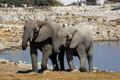 Elephant in Namibia Royalty Free Stock Images
