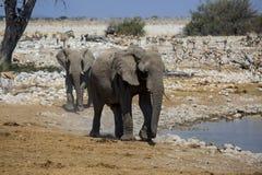 Elephant in Namibia Stock Photography