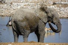 Elephant in Namibia Royalty Free Stock Photography