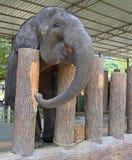 Elephant in National Conservation Centre Kuala Gandah Stock Image