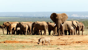 Elephant National Park. Addo Elephant National Park is a diverse wildlife conservation park situated close to Port Elizabeth in South Africa royalty free stock images