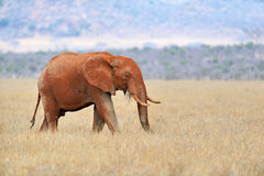 Elephant in National park of Kenya Royalty Free Stock Photos