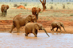 Elephant in National park of Kenya Royalty Free Stock Image