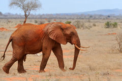 Elephant in National park of Kenya Royalty Free Stock Images