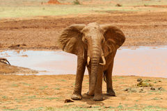 Elephant in National park of Kenya Royalty Free Stock Photography