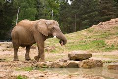 Elephant in natural environment. Elephant carrying a log in its trunk Royalty Free Stock Image