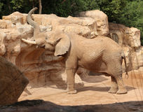 Elephant in natural environment in Bio Park in Valencia, Spain. Stock Images