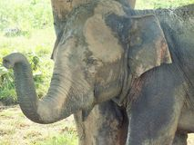 Elephant in natural surrounding in Sri Lanka Stock Photography