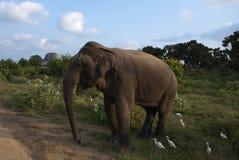 Elephant in Nature. At Yala National Park, Sri Lanka Royalty Free Stock Photography