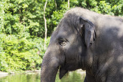 Elephant. Royalty Free Stock Photos