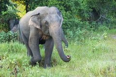 Elephant in a nature reserve. Elephant at Minneriya National Park, Sri Lanka royalty free stock photo