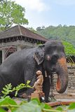 An Elephant at Sri Dalada Maligawa Kandy, Sri Lanka. An elephant near the famous pond 2017 at Sri Dalada Maligawa, Kandy, Sri Lanka Royalty Free Stock Images