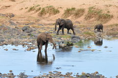 Elephant near river Olifant Stock Photos