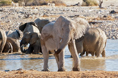 Elephant near waterhole Stock Photography