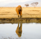 Elephant near the watering place in savanna. Reflection on the water Royalty Free Stock Image