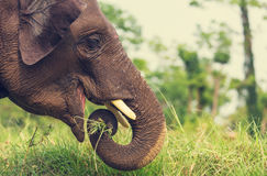 Elephant in Nepal Royalty Free Stock Photos