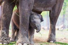 Elephant in Nepal Stock Photo