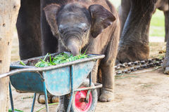 Elephant in Nepal Royalty Free Stock Image