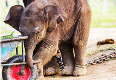 Elephant in Nepal Stock Image