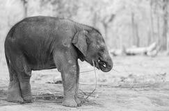 Elephant in Nepal Stock Photography