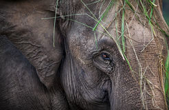 Elephant in Nepal Royalty Free Stock Photo