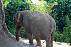 Elephant next to tree Royalty Free Stock Photos