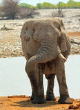 An  elephant next to a waterhole Stock Photography