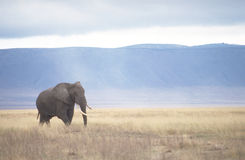 Elephant in Ngorongoro Crater. An elephant roams in the Ngorongoro Crater in Tanzania. This game reserve is known as Africa's Garden of Eden due to the vast Royalty Free Stock Photos