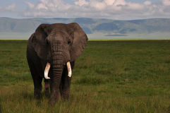 Elephant Ngorongoro Crater Stock Photos