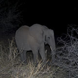 Elephant in the night Stock Images